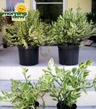 euphorbia pedilanthus