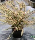 Euphorbia Pedilanthus 10 in Exotic
