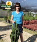 euphorbia trigona cactus
