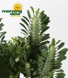 euphorbia trigona closeup cactus