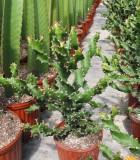 euphorbia twist cactus