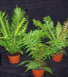 fern assorted tree