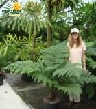 fern australian tree
