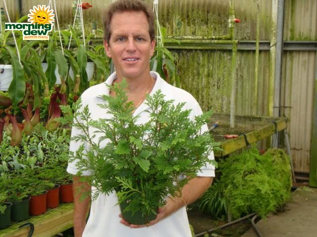 Fern Morning Dew Tropical Plants
