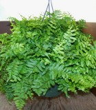 fern dallas Hanging Basket
