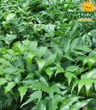 fern holly leaf