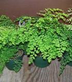 fern maidenhair assorted