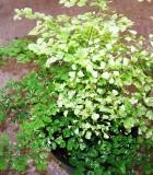 fern maidenhair variegated