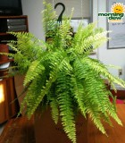 fern tiger hanging basket