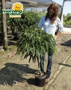 ficus alii braid tree