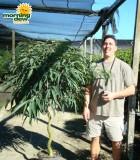 ficus alii corkscrew tree