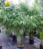 ficus alii multi tree