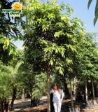 ficus amstel king tree