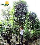 ficus amstel king tree