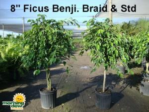 ficus benjamina braid tree