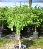 ficus benjamina braid variegated tree