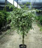 ficus benjamina braid variegated