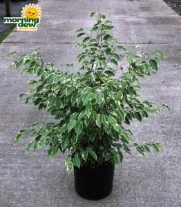 ficus benjamina bush variegated