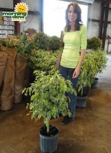 ficus benjamina tree variegated