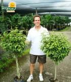 ficus benjamina variegated braid tree