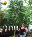 ficus brazil tree