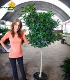 ficus daniella tree