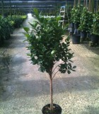 ficus daniella twist tree