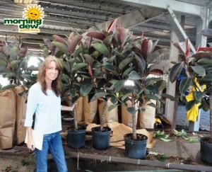 ficus elastica tree rubber plant