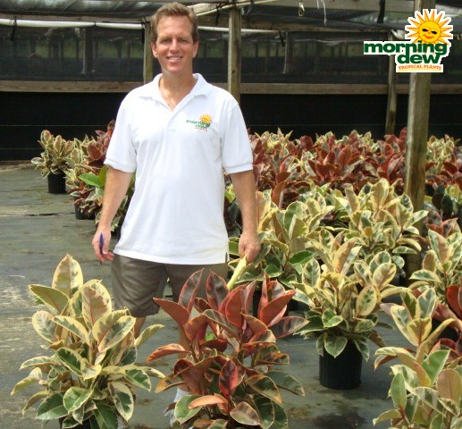 Ficus Morning Dew Tropical Plants