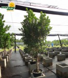 ficus green island tree