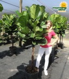ficus lyrata braid tree fiddleleaf fig