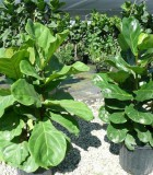 ficus lyrata bush suncoast everglades fiddleleaf fig