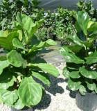 ficus lyrata bush suncoast everglades fiddleleaf fig
