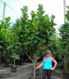 ficus lyrata tree fiddleleaf fig