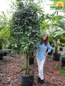 ficus nitida tree multi