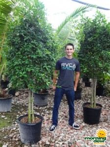 ficus nitida tree multi