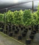 ficus nitida tree variegated