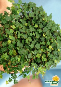 ficus repens quercifolia