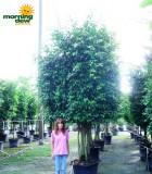 ficus wintergreen multi
