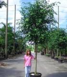 ficus wintergreen tree