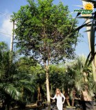 ficus wintergreen tree