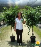 ficus wintergreen tree braid