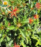 firebush hamelia blooms