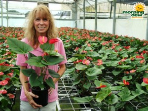 flowering anthuriums
