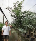 foxtail palm multi