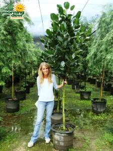 garcinia spicata tree