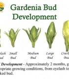 gardenia bud stages