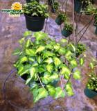 gold leaf ivy