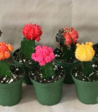 grafted color tops cactus