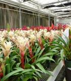 bromeliad guzmania deborah